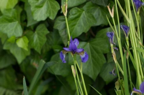 syberyjski niebieski