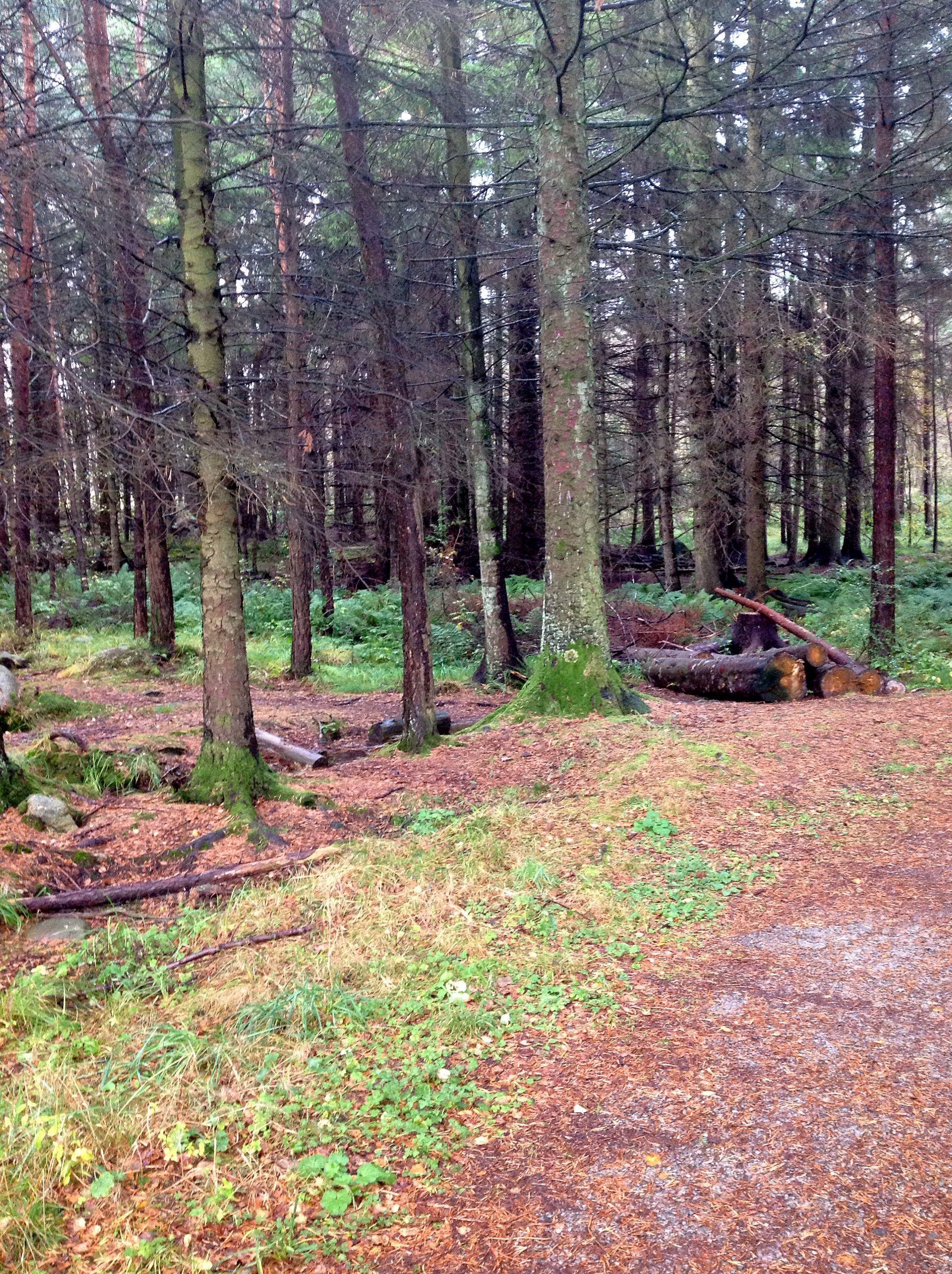 dorosły las iglasty