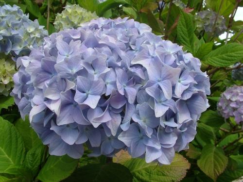 niebieska hortensja