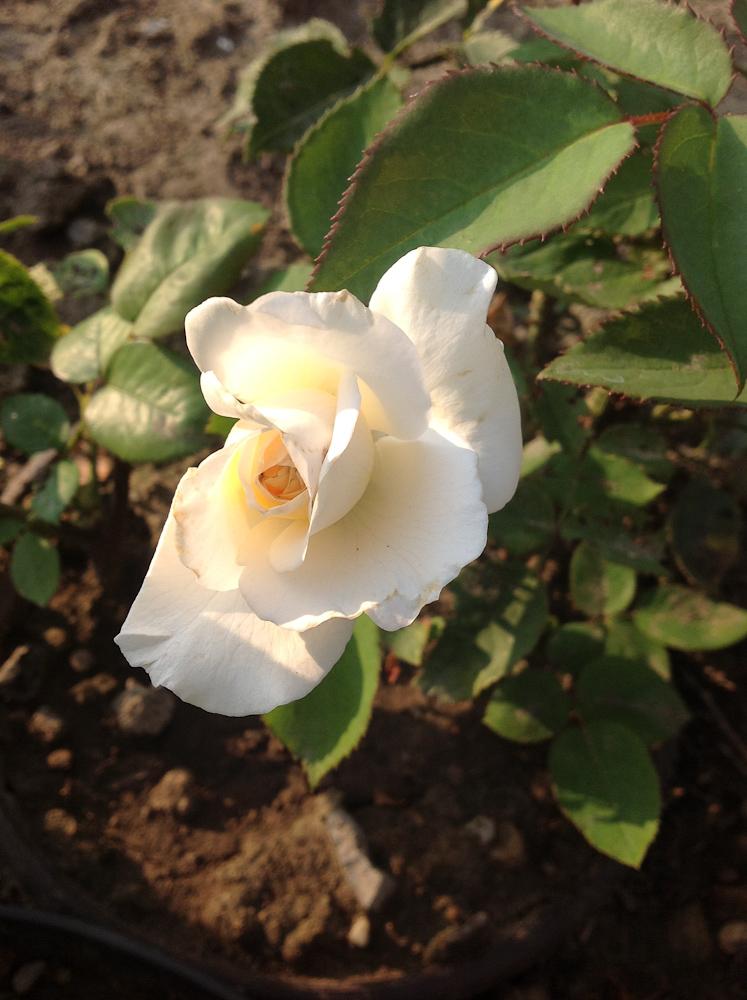 kwiat białej róży