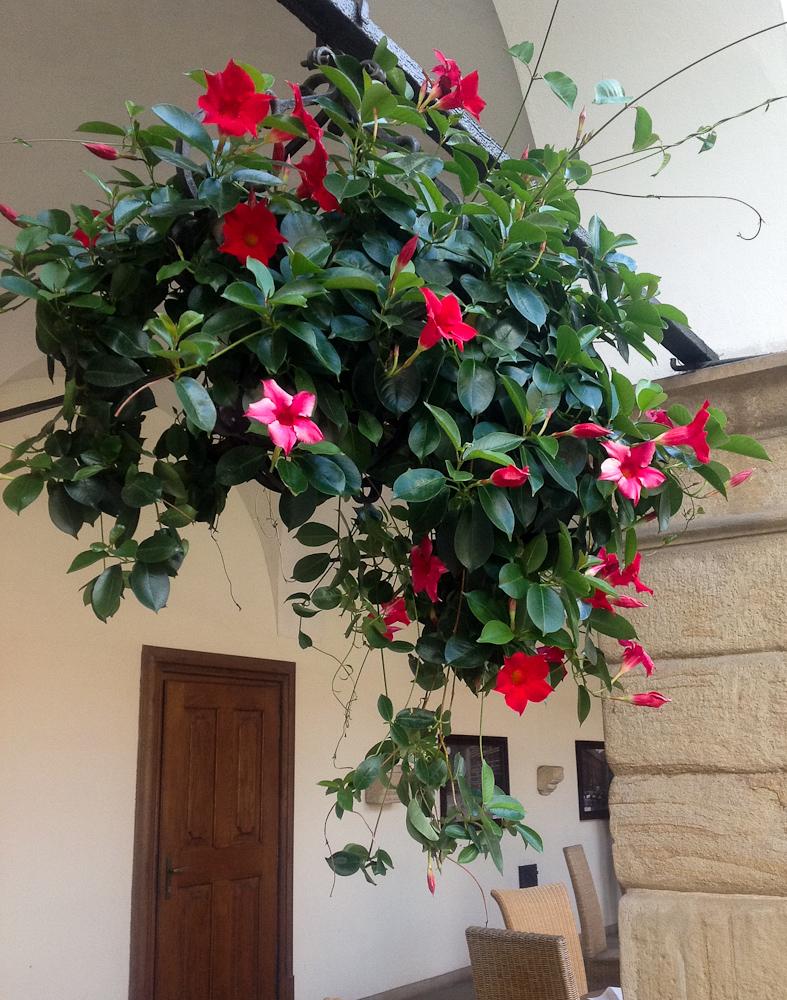 kwitnąca Sundaville
