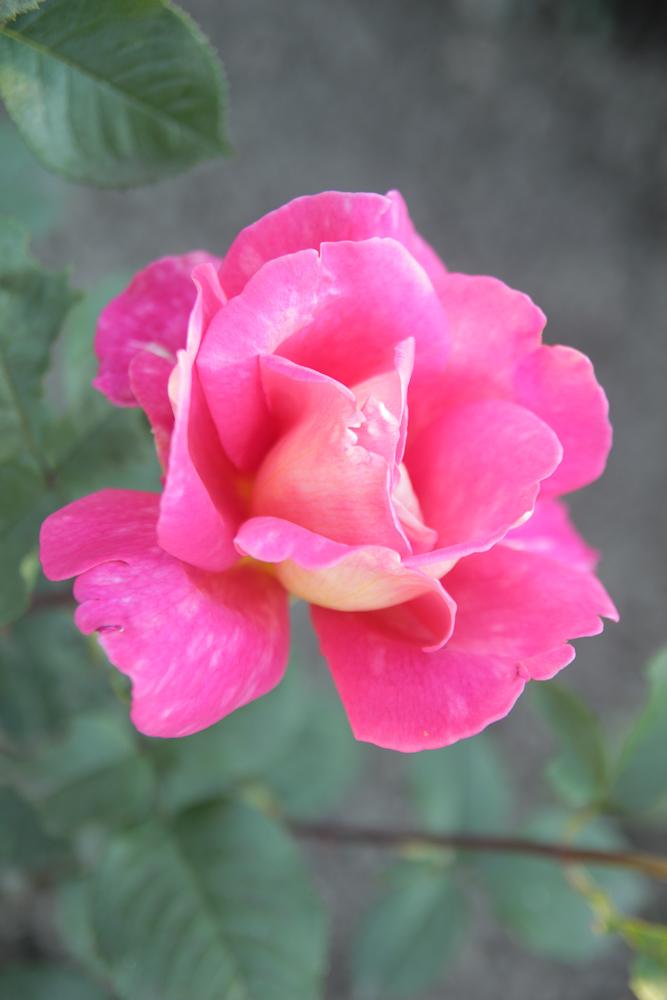 róża Chicago Peace