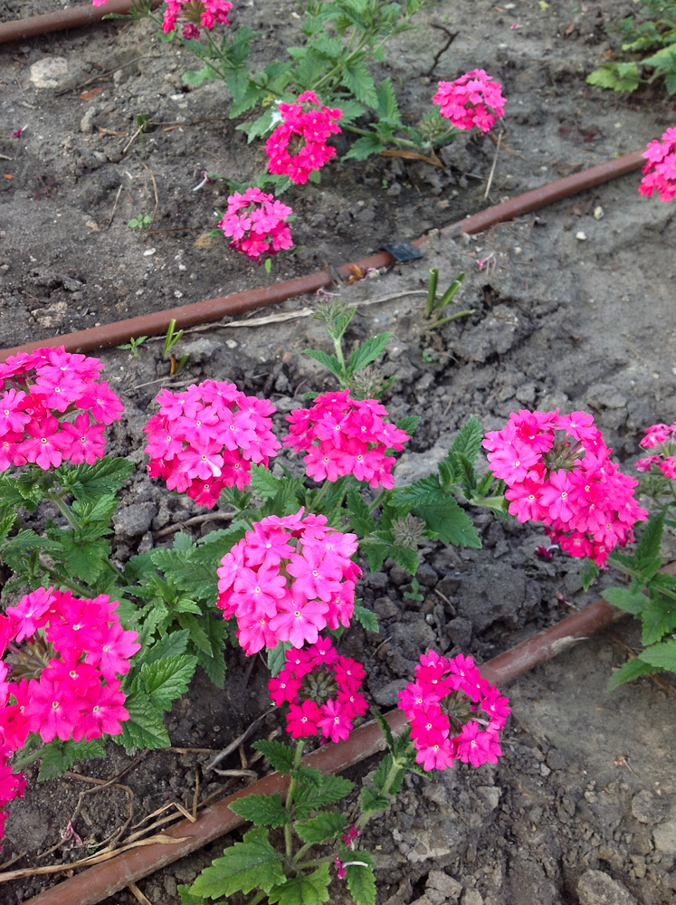 werbena różowa