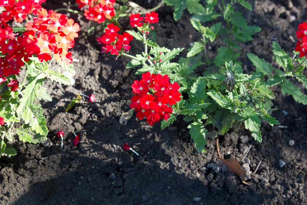 werbena ogrodowa z czerwonymi kwiatami