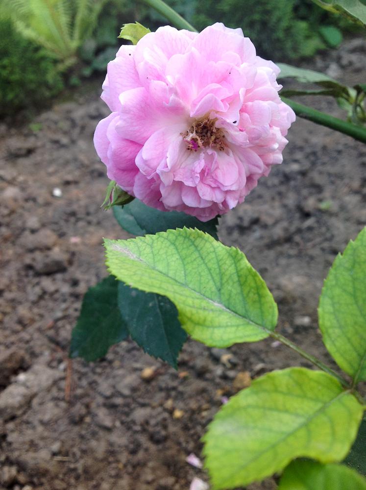 "kwiat ""Lavender Lassie"""