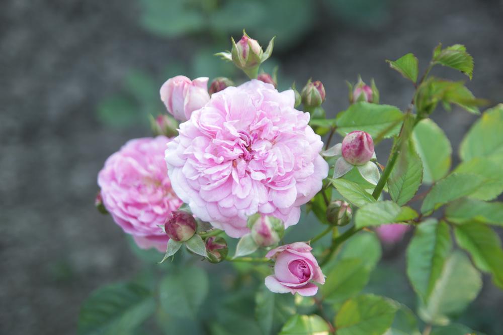 "róża ""Lavender Lassie"""