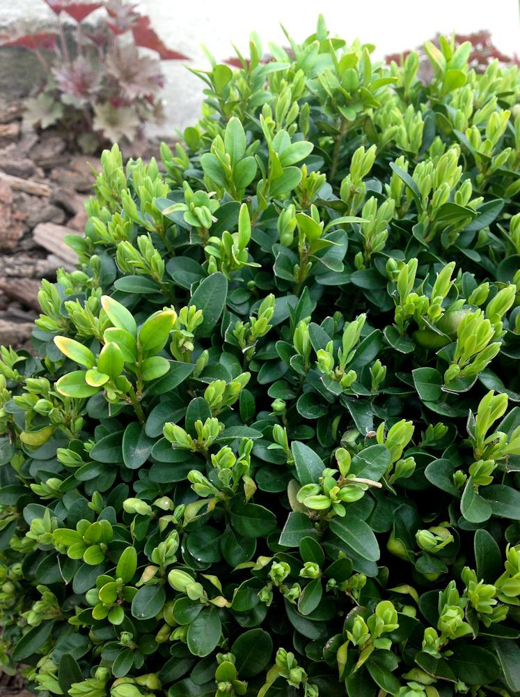 bukszpan zaczyna już puszczać młode liście
