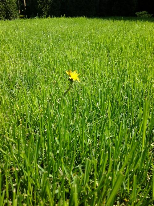 mlecz w trawniku potrafi rozprzestrzenić się bardzo szybko