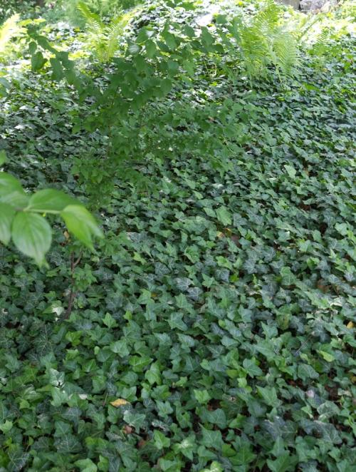bluszcz doskonale sprawdza się nie tylko jako pnącze, ale i jako roślina okrywowa