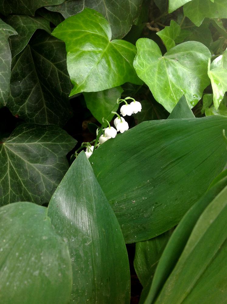 cudnie pachnące majowe konwalie