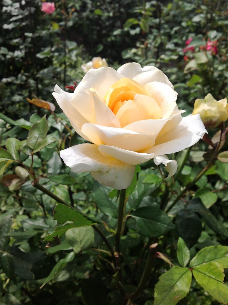 piękna róża i w pąku i w pełnym rozkwicie