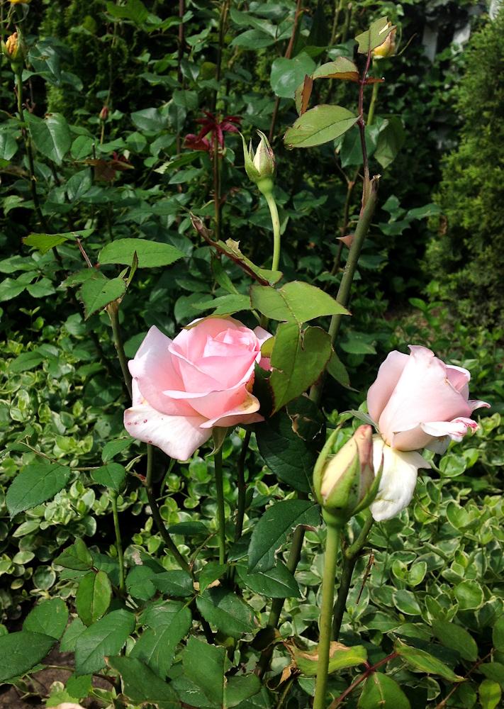 podejrzewam, że to róża Flamingo