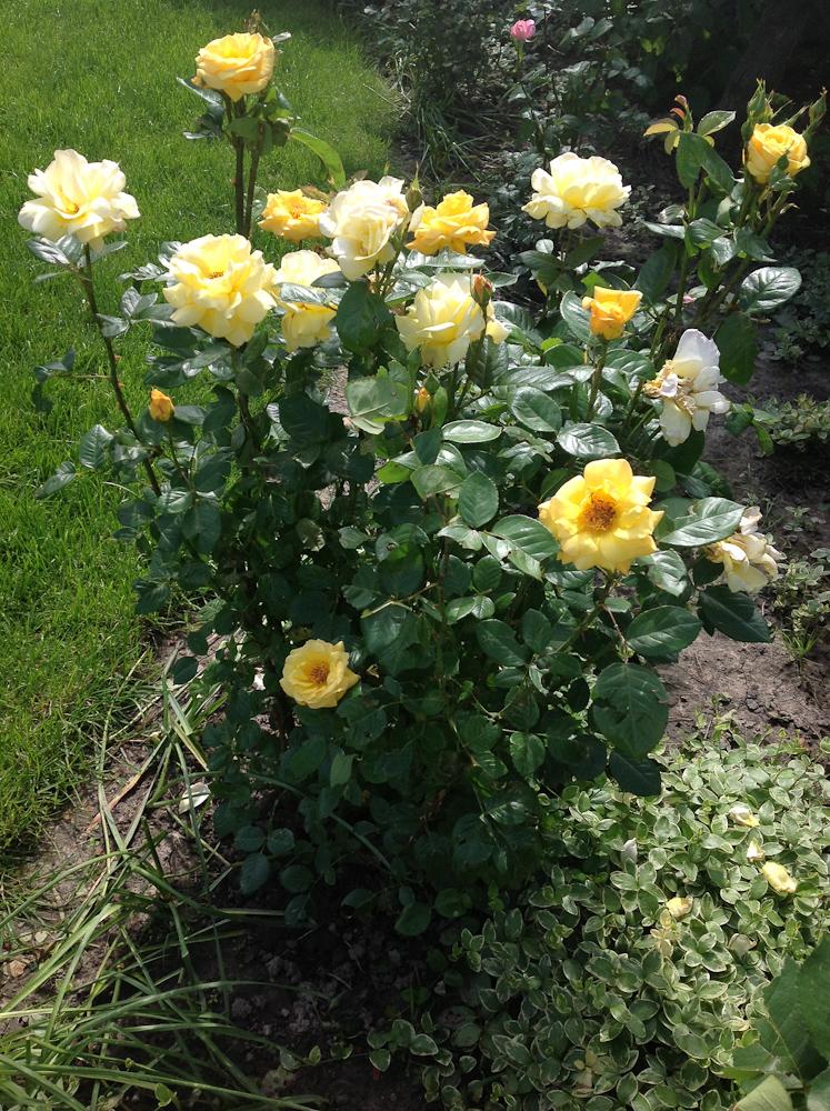 pięknie pachnie, a jej przekwitające kwiaty bieleją