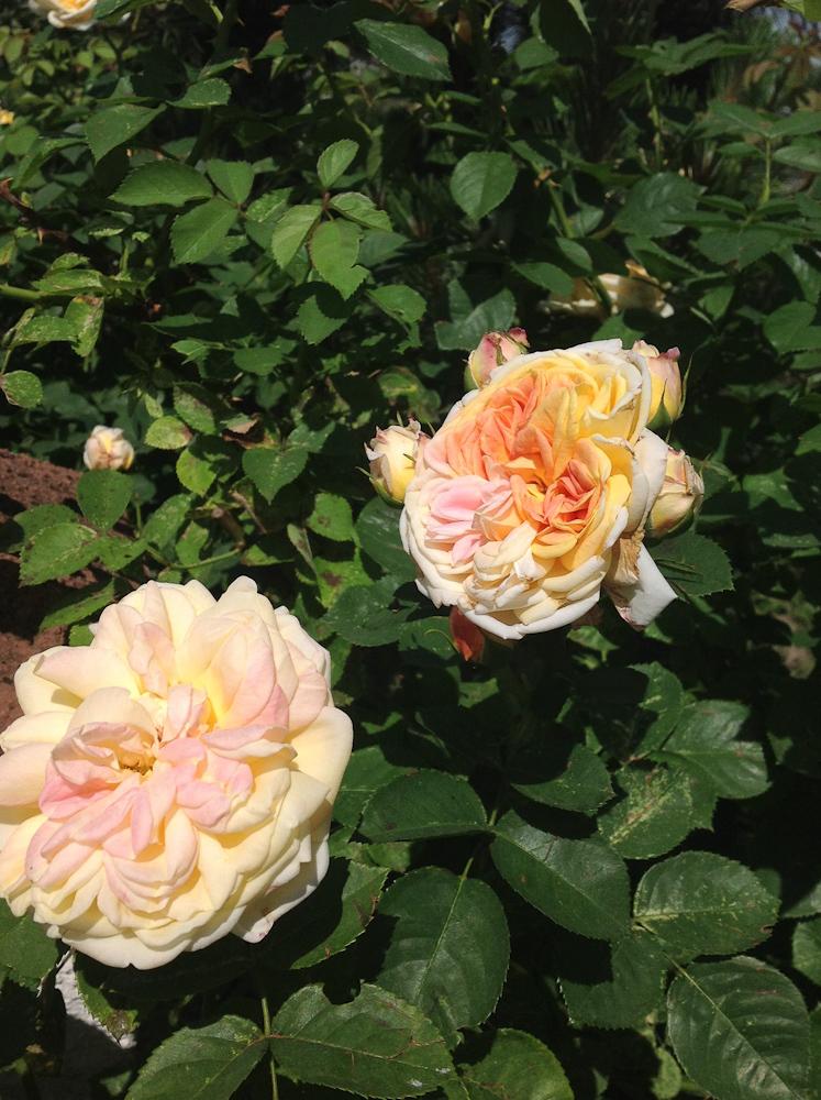 róża pnąca Alchymist