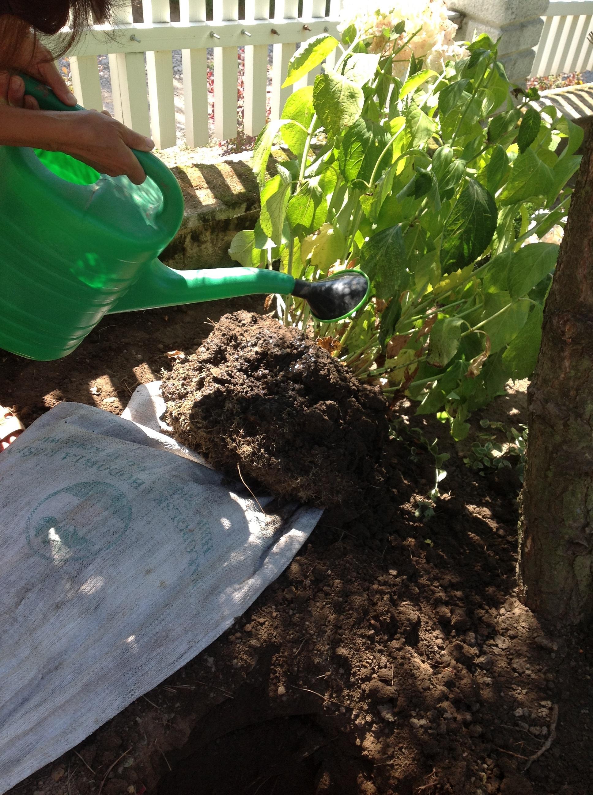 Podlewanie bryły korzeniowej krzewu