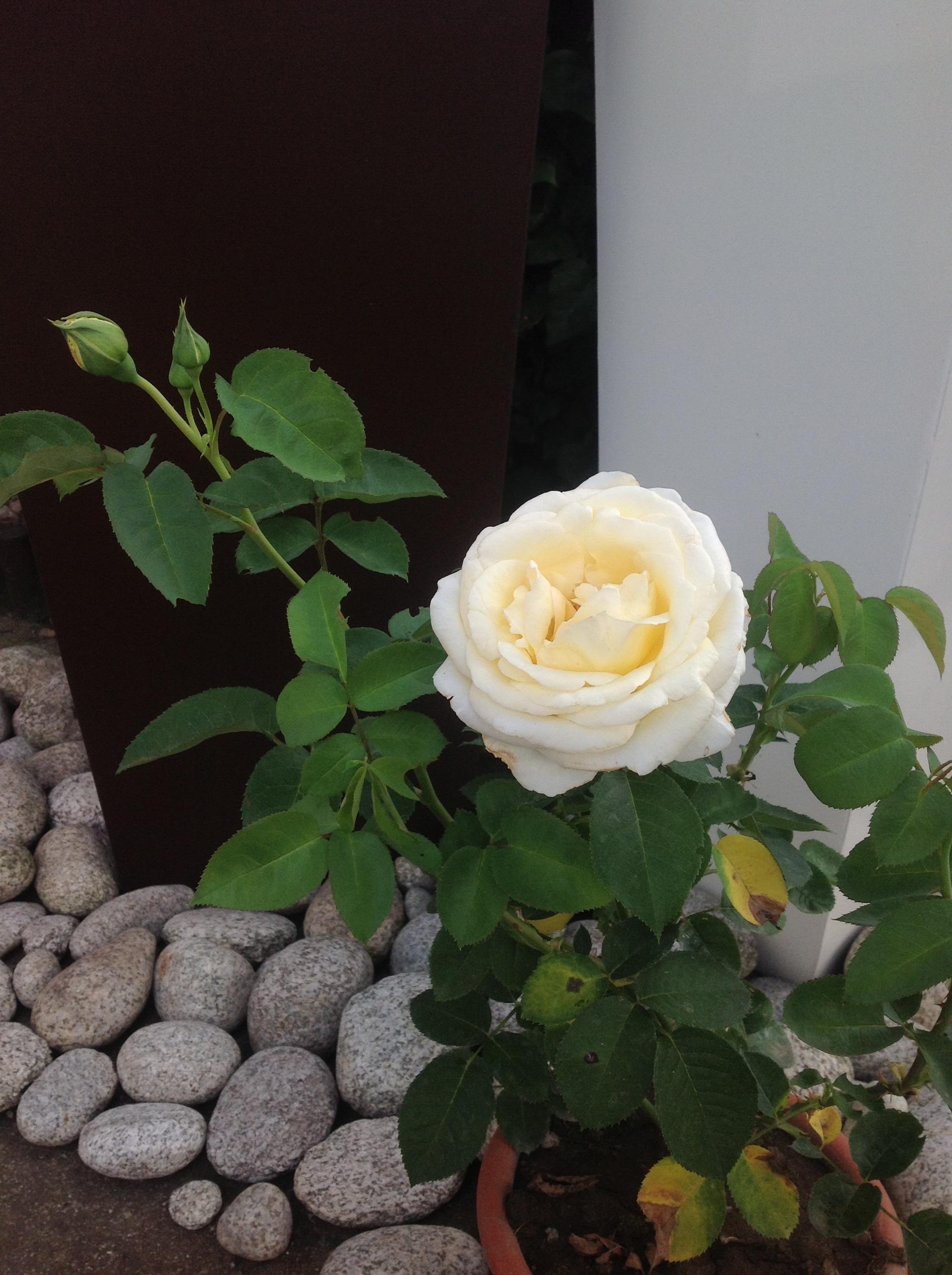 Roczny Chopin zakwitł pierwszym kwiatem