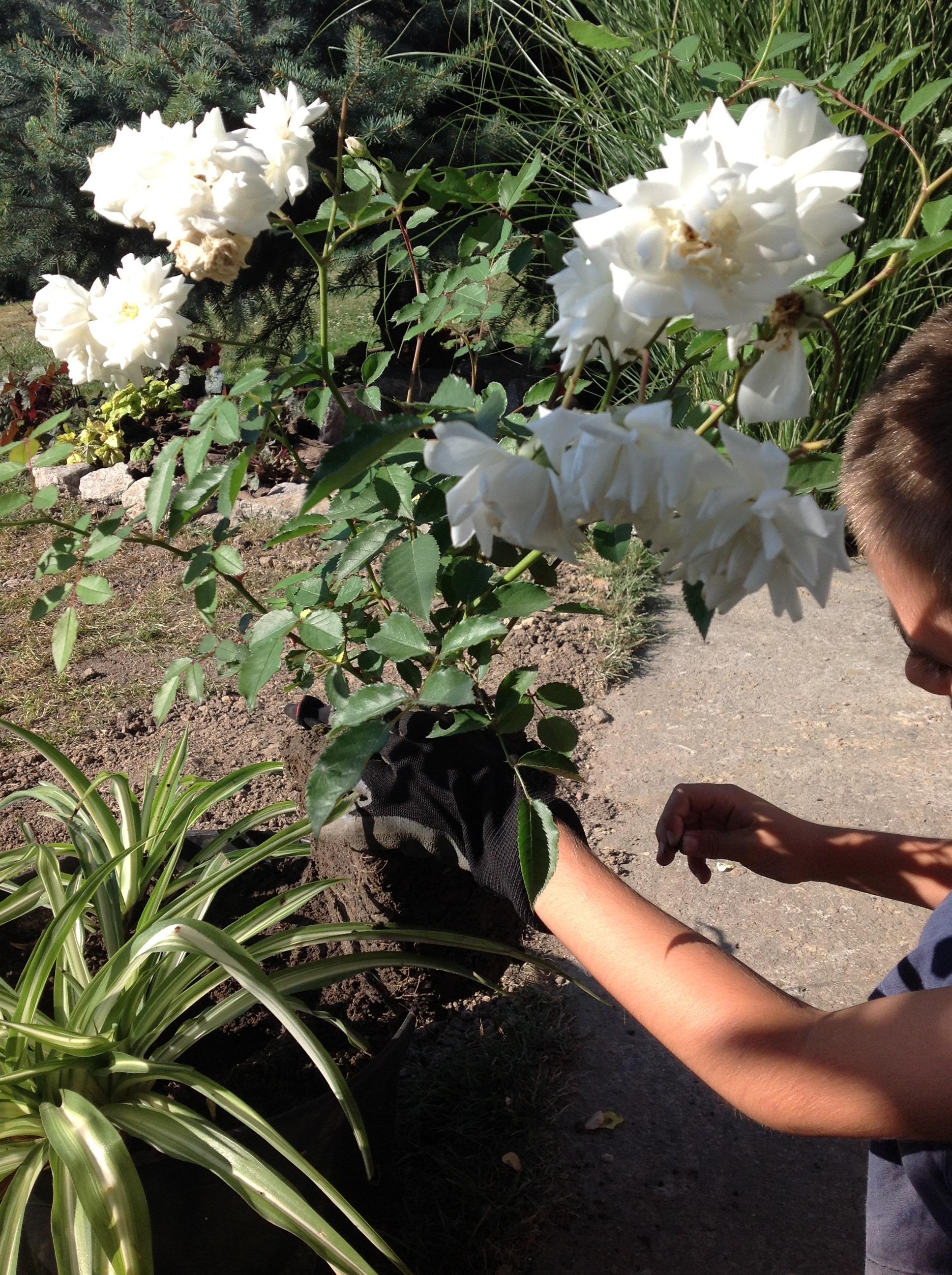 Róża w pełni kwitnienia, dzięki oskonałej bryle korzeniowej, bez problemu wyszła z doniczki