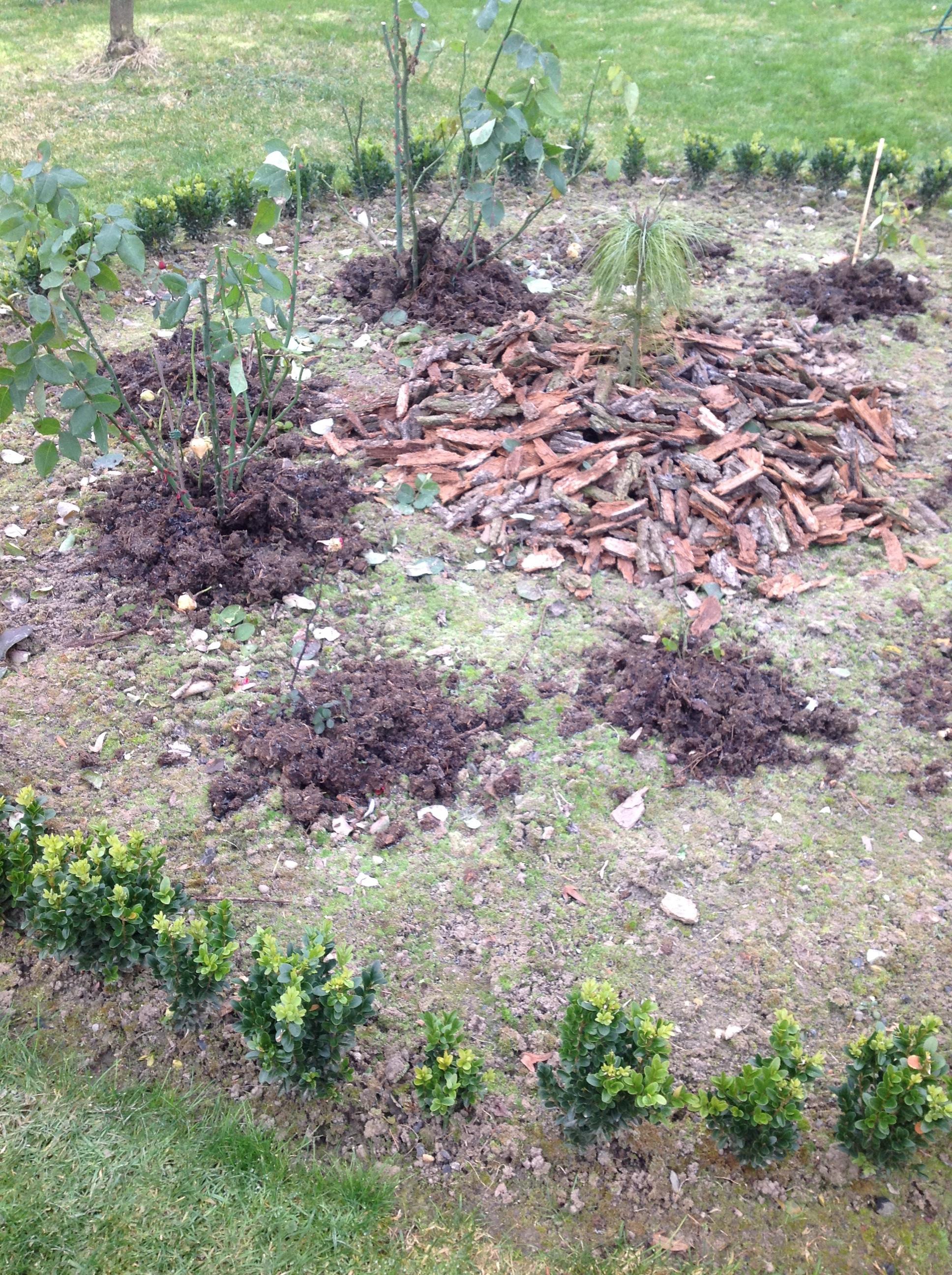 Kopczyki z kompostu pozwolą ochronić róże przed mrozem