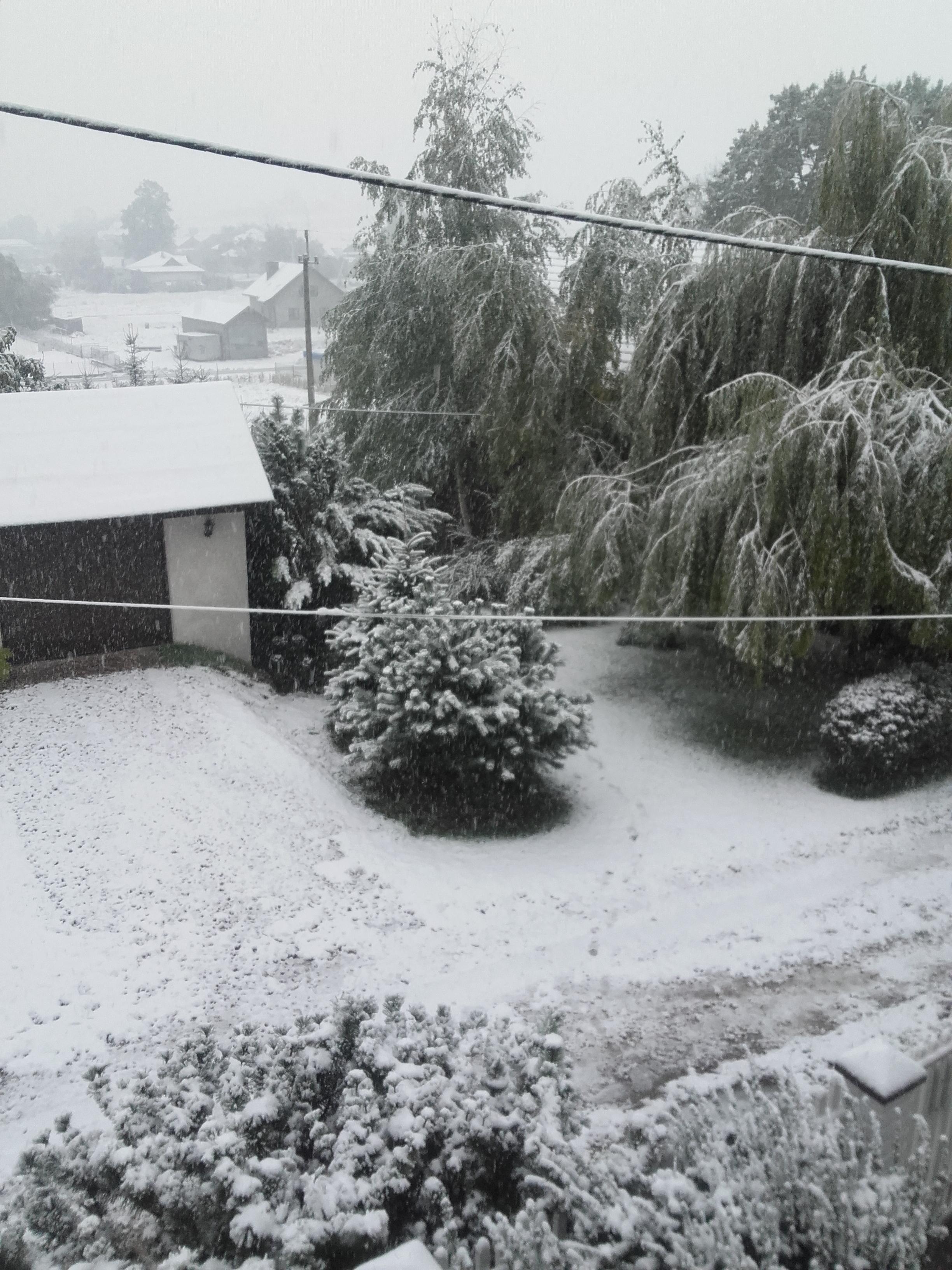 Zimowy ogród, a w nim przygnieciony cis przy ścianie garażu