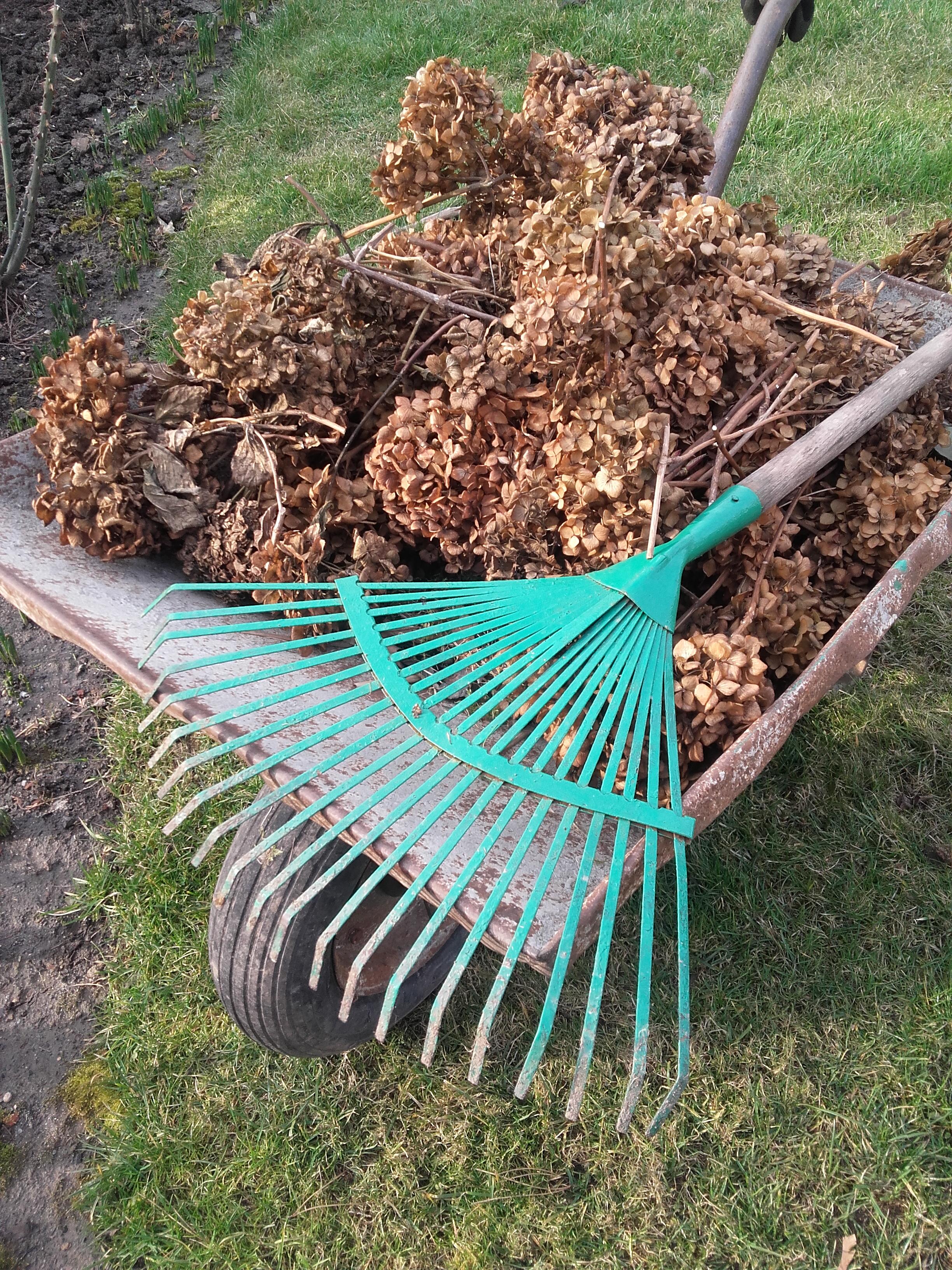 Ścięte kwiaty hortensji pojadą na kompost