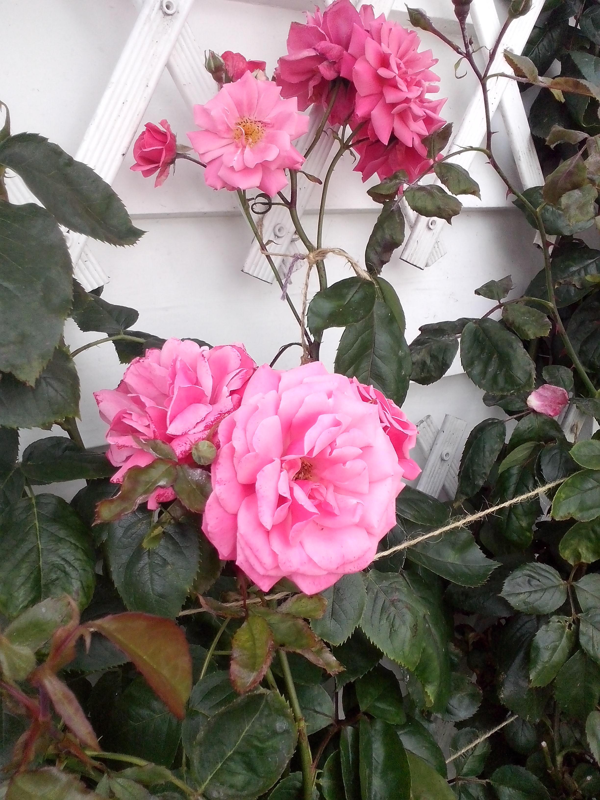 pięknie kwitnąca róża