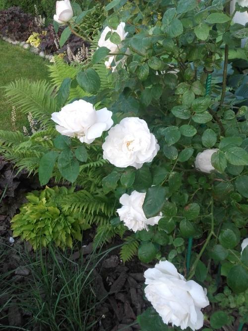 róża angielska, momo tego, ze rośnie na przeciągu, kwitnie nieprzerwanie